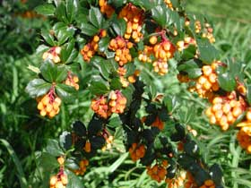 Berberis - with plenty of thorns!