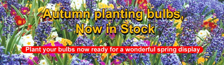 Plant Autumn bulbs NOW...