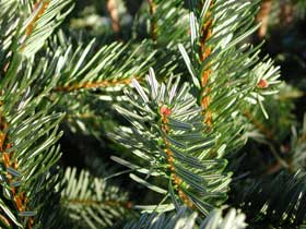 &quot;No needle drop&quot; Christmas Tree foliage